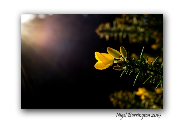 Irish Gorse flowers Nigel Borringtpn