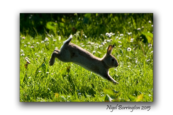 Spring time Rabbits Nigel Borrington