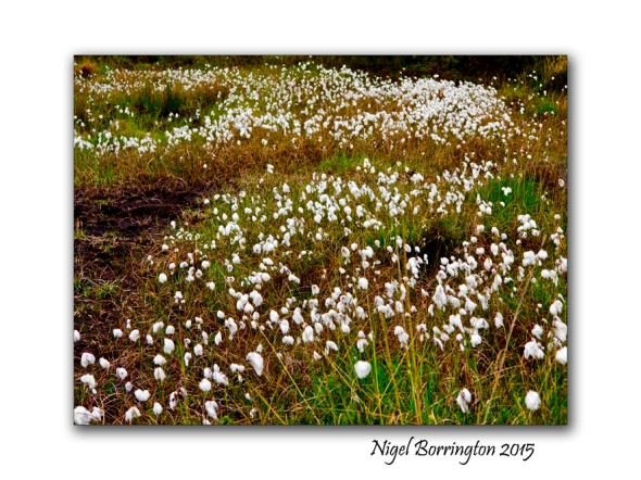 Will I get to see the Bog cotton again 2