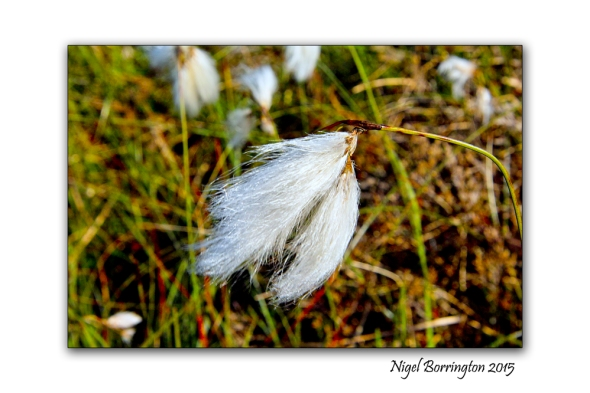 Bog Cotton  Irish Landscape Photography : Nigel Borrington
