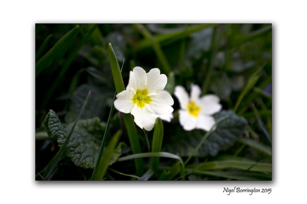 Springtime Primrose Nature Photography : Nigel Borrington