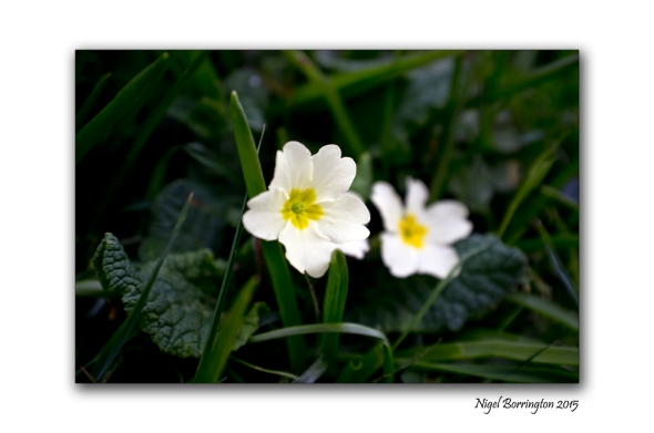 Springtime Primrose Nature Photography : Nigel Borrington