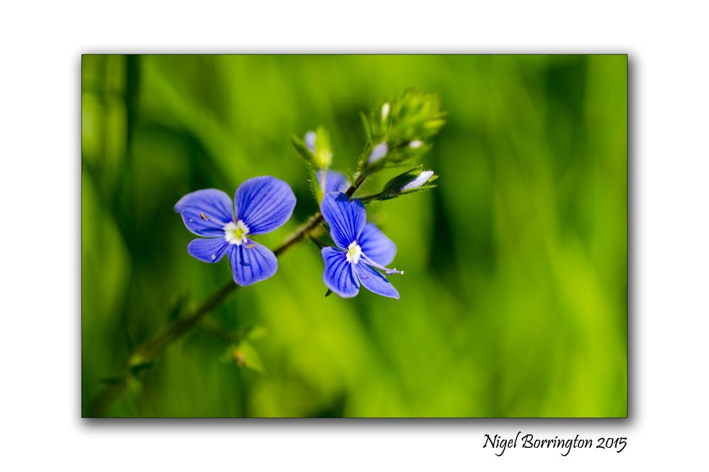 Blue flowers of , CommonField-Speedwell Nature Photography : Nigel Borrington