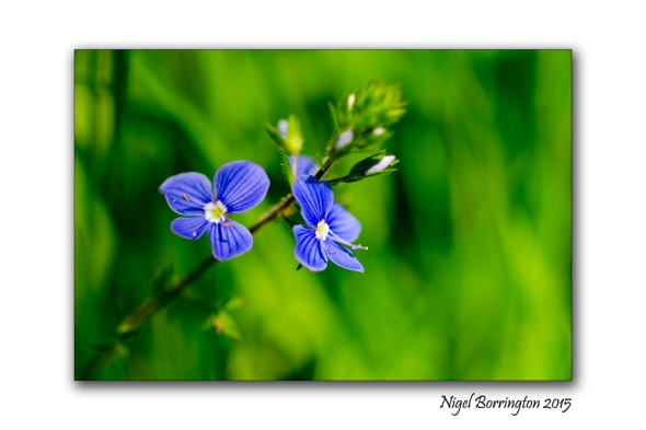 Blue flowers of , CommonField-Speedwell Nature Photography : Nigel Borrington