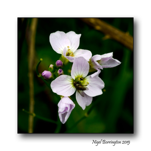 Cuckoo-flower / Lady's Smock  Nigel Borrington