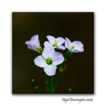 Cuckoo flowers 2