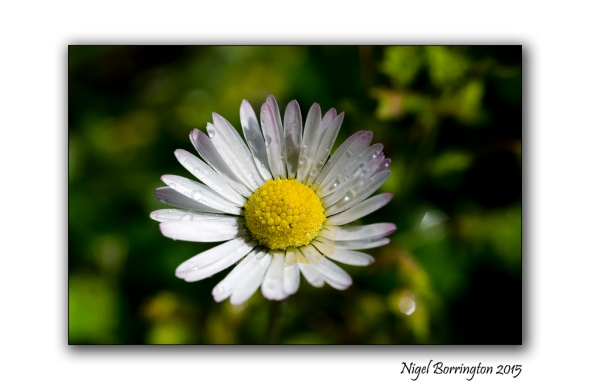 The Daisy  Nature Photography : Nigel Borrington