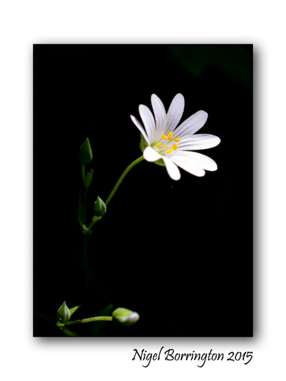 Greater Stitchwort Stellaria holostea Nigel Borrington