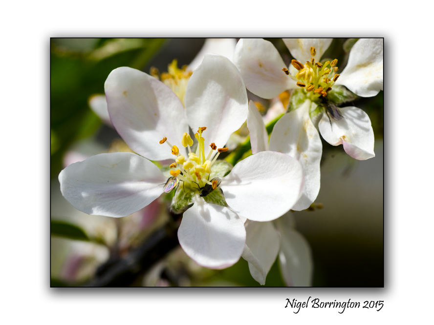 From Blossoms Nature Photography : Nigel Borrington