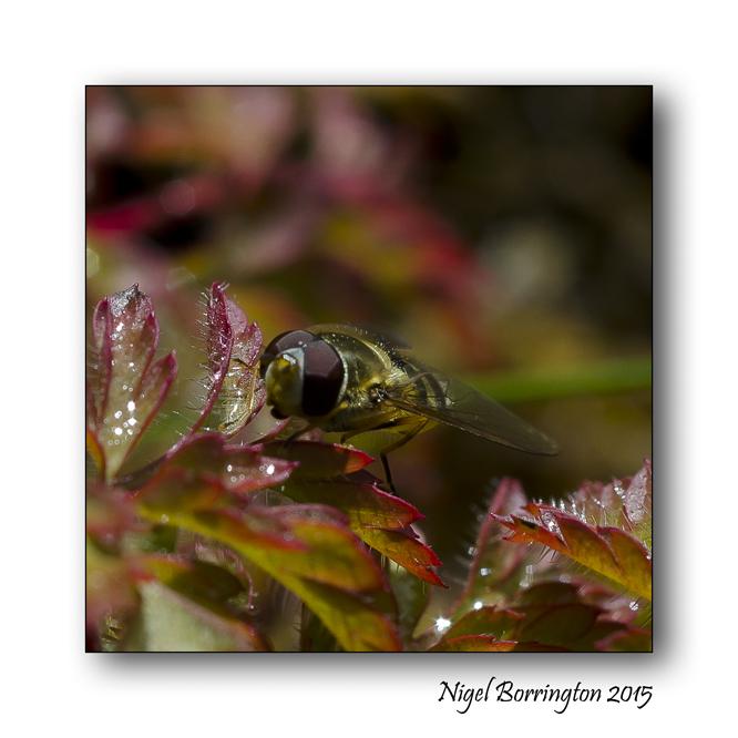 Hover Fly - Poem by Michael Shepherd Nature Photography : Nigel Borrington