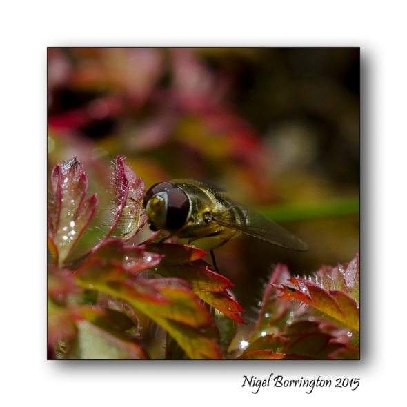 Hover Fly - Poem by Michael Shepherd Nature Photography : Nigel Borrington
