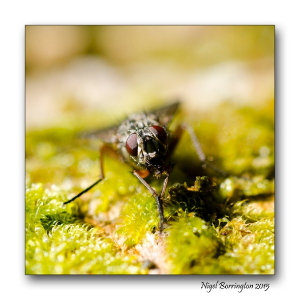 The Fly - Poem by William Blake Macro-photography : Nigel Borrington