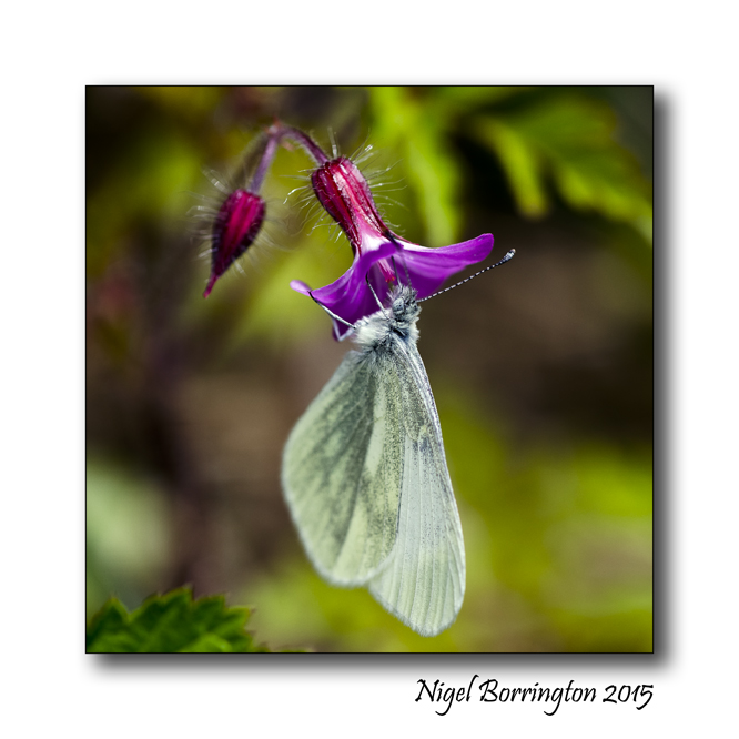 Mischievous Joy of a butterfly  Image : Nigel Borrington