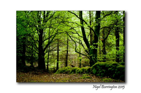 Irish woodlands 1