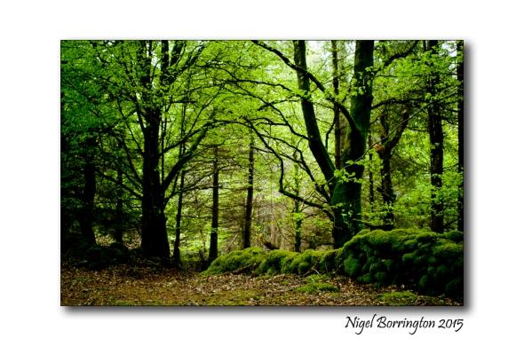 Irish woodlands 1