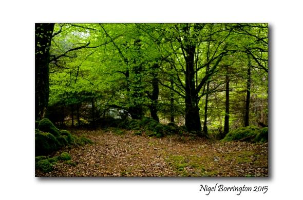 Irish woodlands 2
