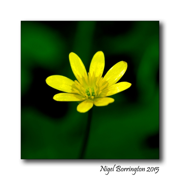 Celandine, Lesser Nature Photography : Nigel Borrington