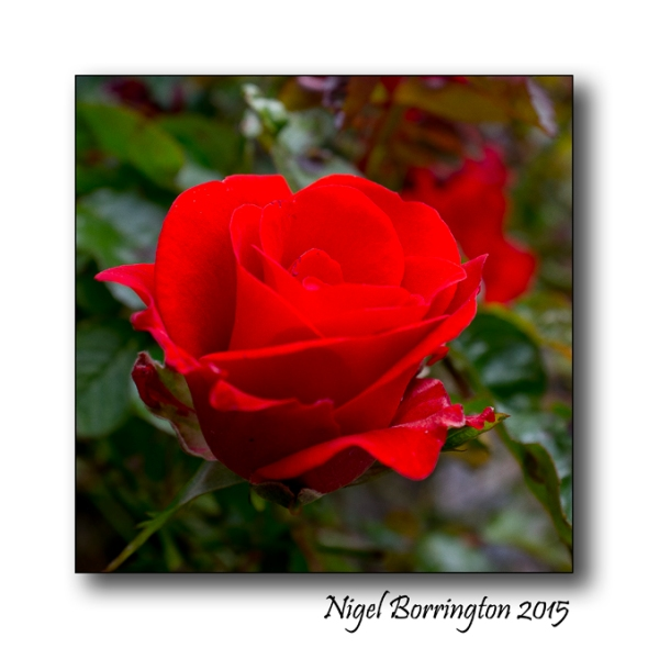 Like a Red Rose on June Nigel Borrington