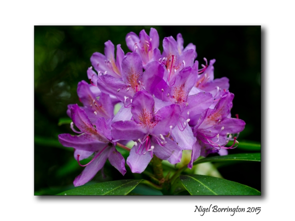 Rhododendro full