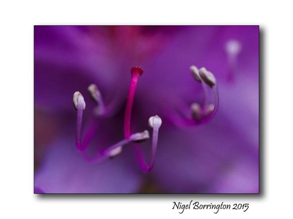 Rhododendro macro 1
