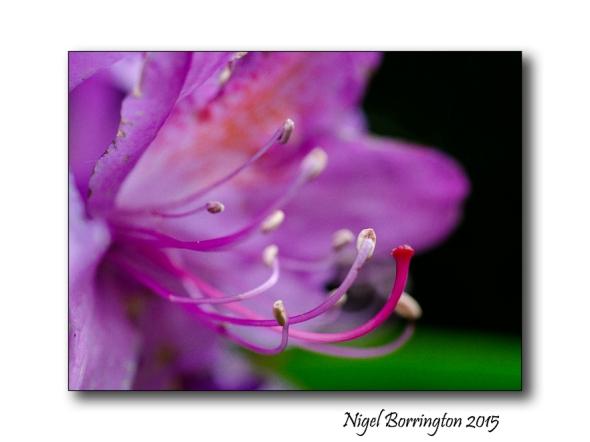 Rhododendro macro 2