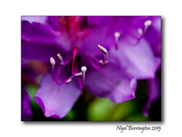 Rhododendron flowers county Kilkenny Nigel Borrington