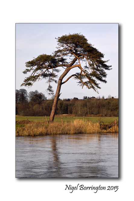 Tree by the river Barrow Kilkenny