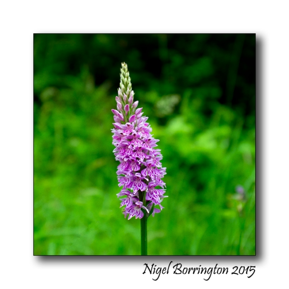 Early_Marsh-Orchid_01