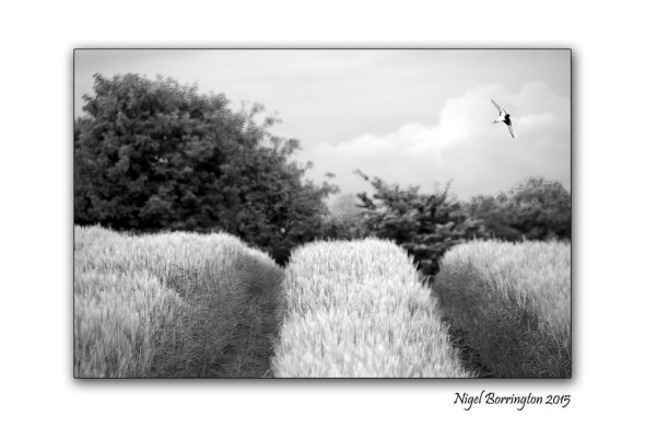 Kilkenny landscape images  August in black and white 5