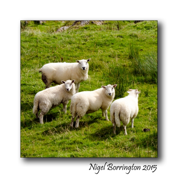 The west cork sheep soul