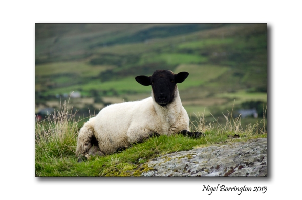 The west cork sheep