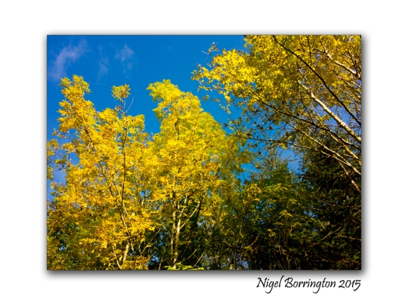 October, In Gold she looks their best; Landscape Photography : Nigel Borrington