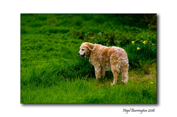 Golden Retriever Molly 2