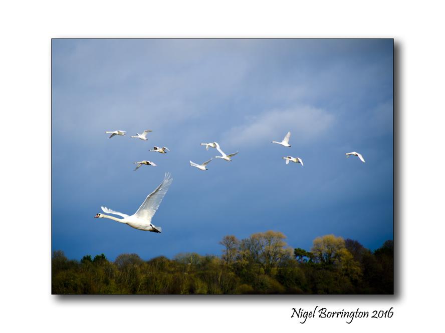The Rise Of The Blue Swan Nature Photography Nigel Borrington