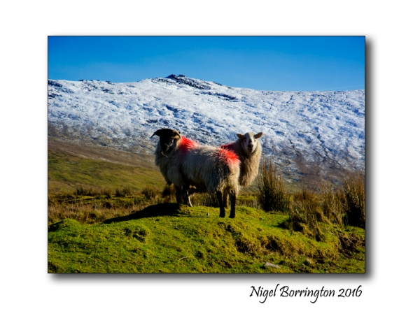 The Sheep Under the Snow by William Henry Gill Irish Landscapes Nigel Borrington