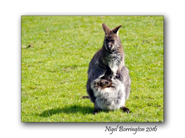 Taking a Nap  Bennetts Wallaby and baby Nigel Borrington