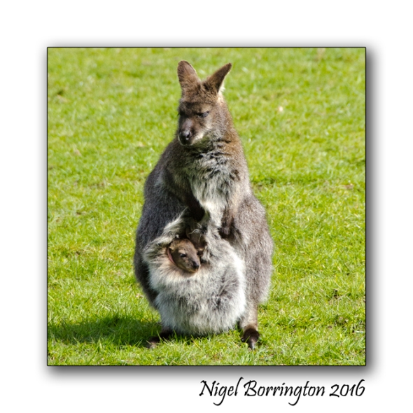 Bennetts Wallaby at fota wild life park nigel borrington 2