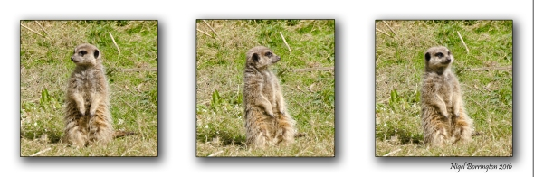 Meerkat at Fota Wildlife Park Cork Ireland