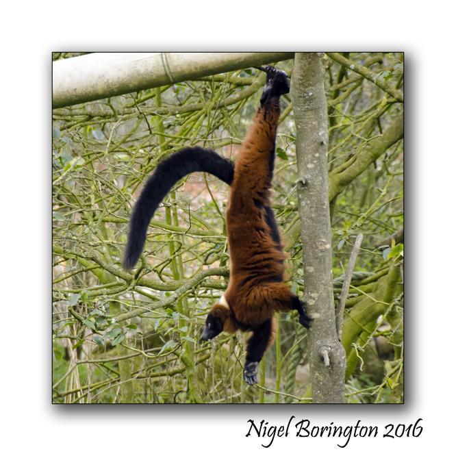 Red Ruffed Lemur Fota Wildlife Park County Cork Nigel Borrington