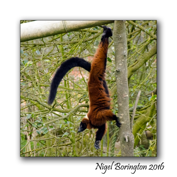 Red Ruffed Lemur Fota Wildlife Park County Cork Nigel Borrington