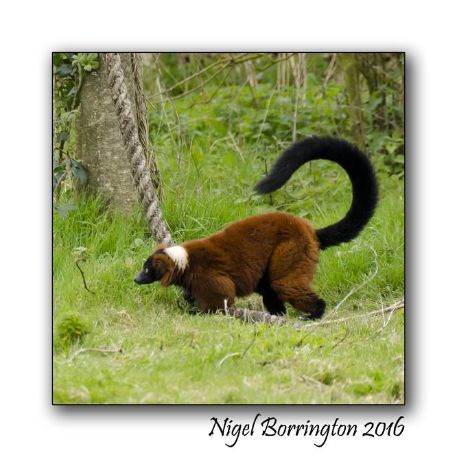 Red Ruffed Lemur Fota wildlife Park Nigel Borrington 02