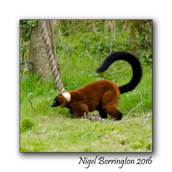 Red Ruffed Lemur Fota wildlife Park Nigel Borrington 02