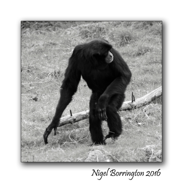 Siamang Gibbon Fota wildlife Park Nigel Borrington 02