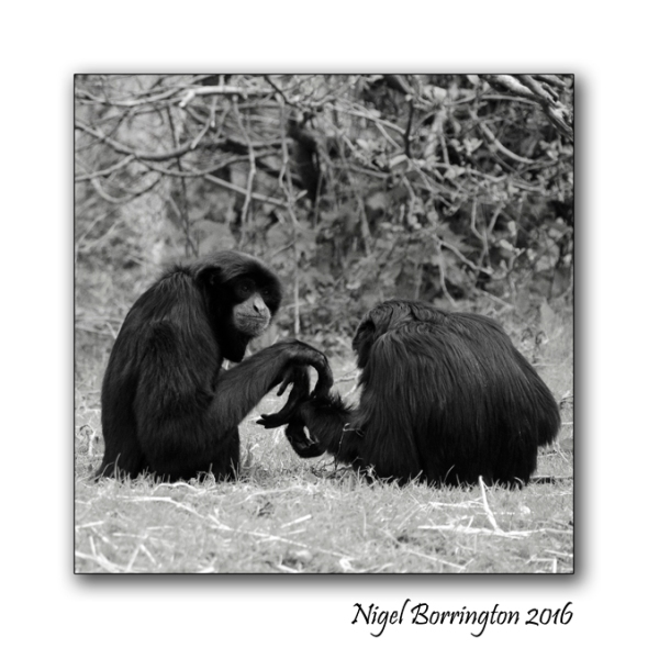 Siamang Gibbon Fota wildlife Park Nigel Borrington 03