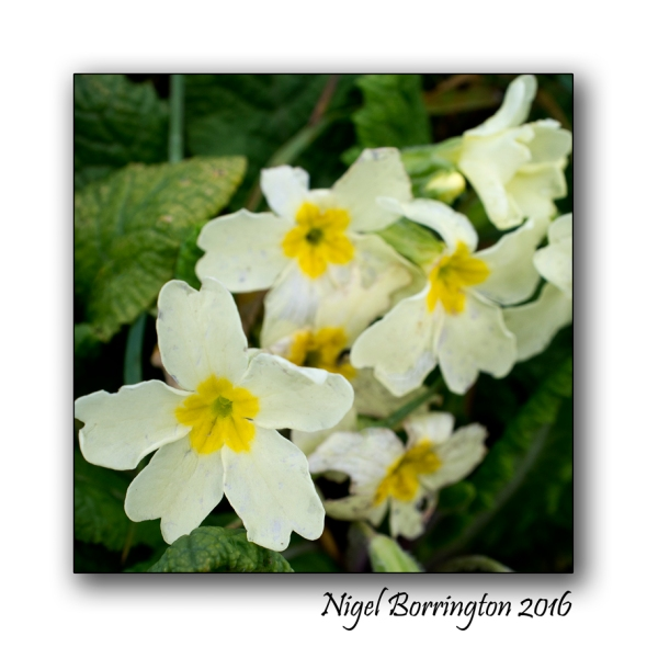 Primroses to say  Thank You !!