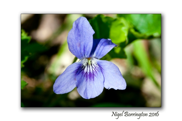 Common Dog Violet Viola riviniana Nigel Borrington