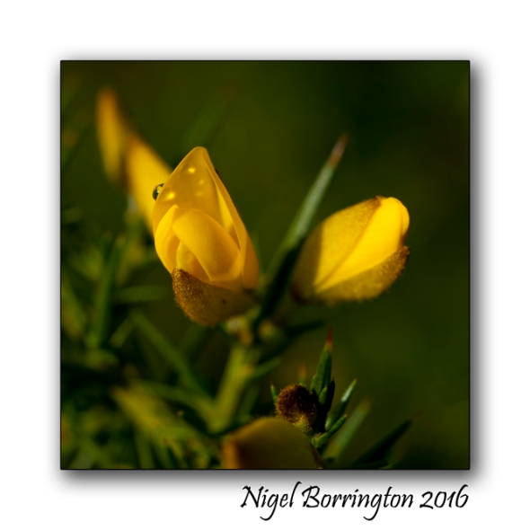 Gorse flowers - in mythology Nigel Borrington 01