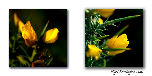 Gorse flowers  Nigel Borrington