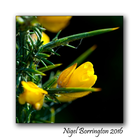 Gorse flowers - in mythology Nigel Borrington 03