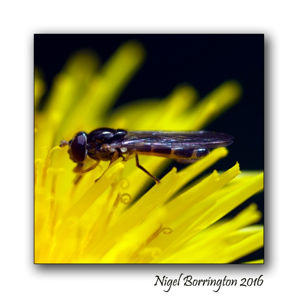 Hover fly Nigel Borrington